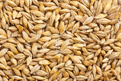 Barley grain Stock Photography