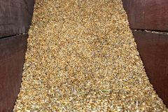 Barley grain for beer. Barley grain for beer production Royalty Free Stock Photos