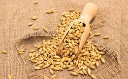 Barley grain on a canvas Stock Photo