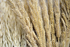 Barley grain Stock Photo