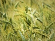 Barley grain closeup in NYS farm field. Barley Hordeum vulgare, a member of the grass family, is a major cereal grain grown in temperate climates globally. It Royalty Free Stock Image
