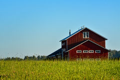 Barley grain field and red barn. On sunny day Stock Images