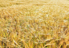 Barley grain field Royalty Free Stock Photography
