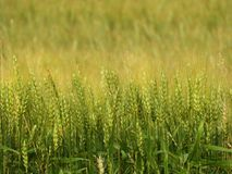 Barley grain field used in NYS agriculture industry. Barley Hordeum vulgare, a member of the grass family, is a major cereal grain grown in temperate climates Stock Photo