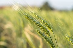 Barley grain hardy cereal growing in field. Barley grain hardy cereal that has coarse bristles extending from the ears chiefly for use in brewing and for flour stock images