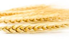 Barley grain isolated on white background Royalty Free Stock Image