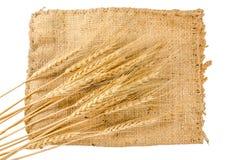 Barley grain is raw material of bread, beer, whiskeys, vodkas Royalty Free Stock Image