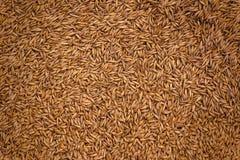 Barley Grain Seed Full Frame Stock Photo