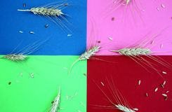 Ears of barley lie on a multi-colored background stock image