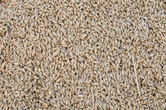 Barley grains Stock Photography