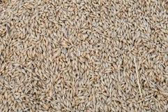 barley grains Στοκ Φωτογραφία