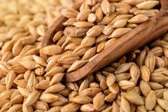 Barley Grains Royalty Free Stock Image
