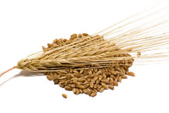 Barley grains and ear royalty free stock photo