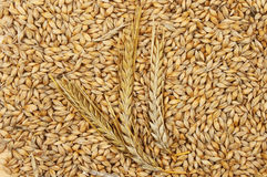 Barley grains and ears Stock Images