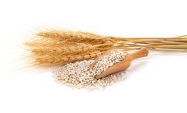 Barley grains Stock Photo