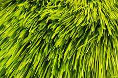 Barley grass Royalty Free Stock Images