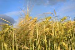 Barley grass and blue sky. Barley grass against a blue sky ready for harvest Stock Photos