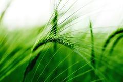 Barley. Grass closeup on the  field stock image