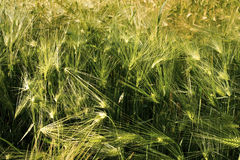 Barley grass in sunlight. Barley grass in the sunshine not ready for harvest Royalty Free Stock Photo