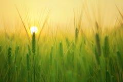 Barley grass at sunrise stock photography