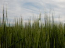 Barley. Green barley field detail photo Royalty Free Stock Images