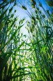 Barley. Green grass of growing barley Royalty Free Stock Photos