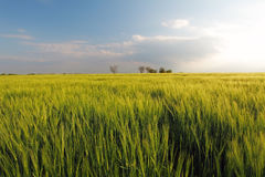 Barley green spring wheat field - meadow Stock Image