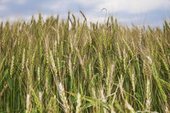 Barley Group. Barley plants in the field Stock Image