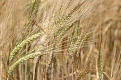 Barley growing stock photo