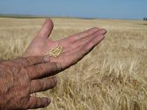 Barley in hand. royalty free stock photos