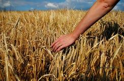 Barley and hand Stock Image