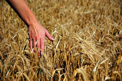 Barley and hand Royalty Free Stock Image