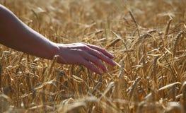 Barley and hand Stock Photos