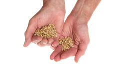 Barley in hands Royalty Free Stock Photo