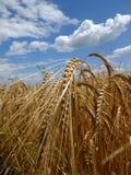 Barley before harvest. Royalty Free Stock Photo