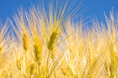 Barley, head with blue sky Royalty Free Stock Images