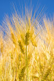 Barley, head with blue sky Stock Image
