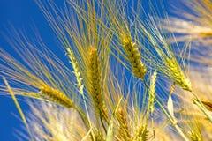 Barley, head with blue sky Stock Photography