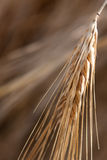 Barley Head Detail Royalty Free Stock Photography