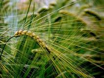 Barley head Stock Images