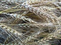 Barley Heads Royalty Free Stock Photos