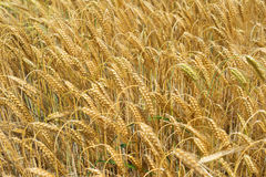 Barley with heavy brown ears Royalty Free Stock Photography