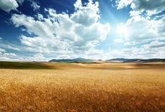 Barley  hills Tuscany, Italy Royalty Free Stock Photo