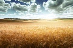 Barley  hills Tuscany Stock Images