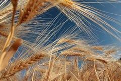 Barley (Hordeum Vulgare) Royalty Free Stock Photos
