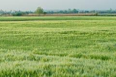Barley (Hordeum vulgare). The cereal is barley (Hordeum vulgare) field Royalty Free Stock Photos