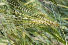 Barley (Hordeum vulgare), close-up. Golden barley (Hordeum vulgare), closeup Royalty Free Stock Photo
