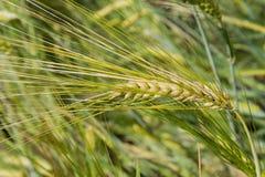 Barley (Hordeum vulgare), close-up. Golden barley (Hordeum vulgare), closeup Stock Image