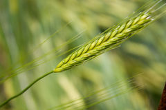 Barley (Hordeum vulgare), close-up. Golden barley (Hordeum vulgare), closeup Royalty Free Stock Image