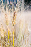 Barley (Hordeum vulgare) Stock Photos